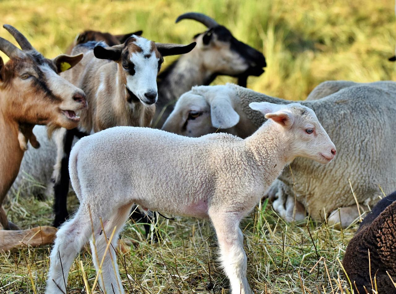 Preparing the Spotless Lamb